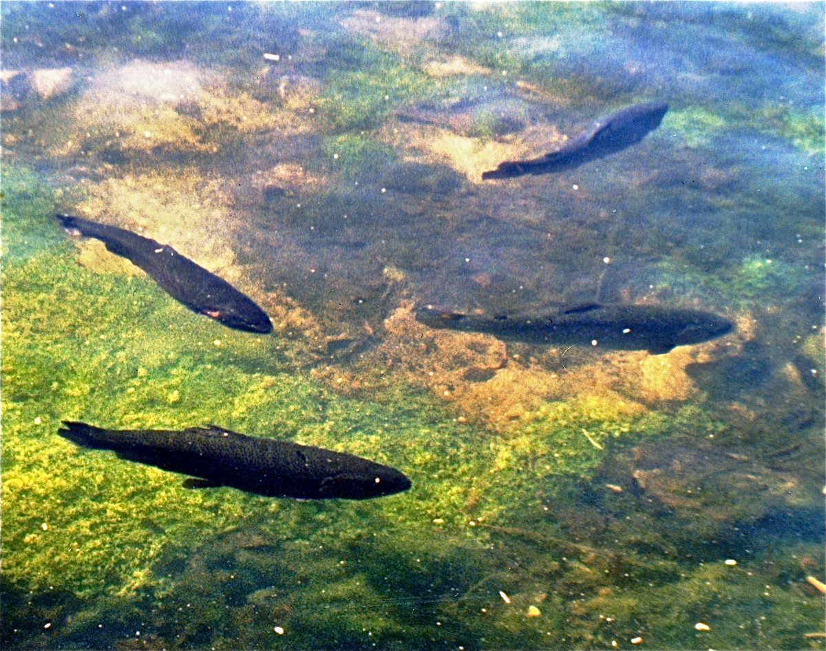 Mt whitney fish hatchery planettrout for Fish hatchery ohio